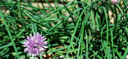 chives growing near a wall
