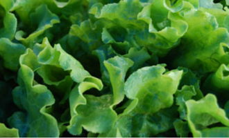 Tips on growing and preparing loose leaf lettuce