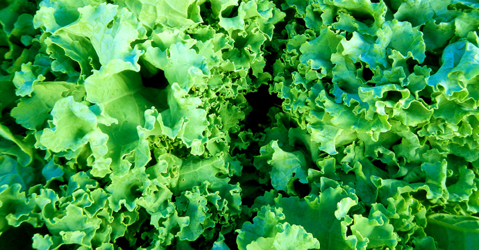 Growing and preparing loose leaf lettuce unl food - How to store lettuce from garden ...