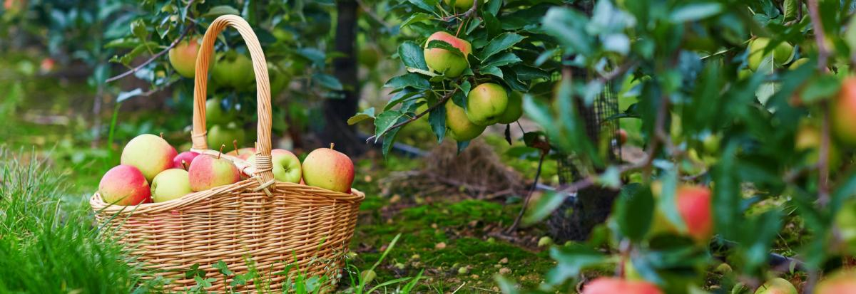apples in a basket sitting in an apple orchard