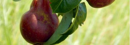 pears on a tree