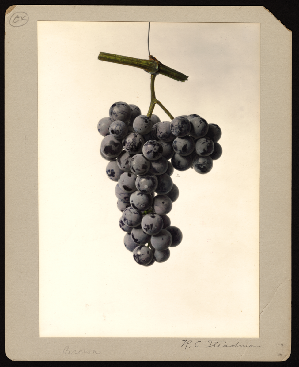 watercolor of grapes