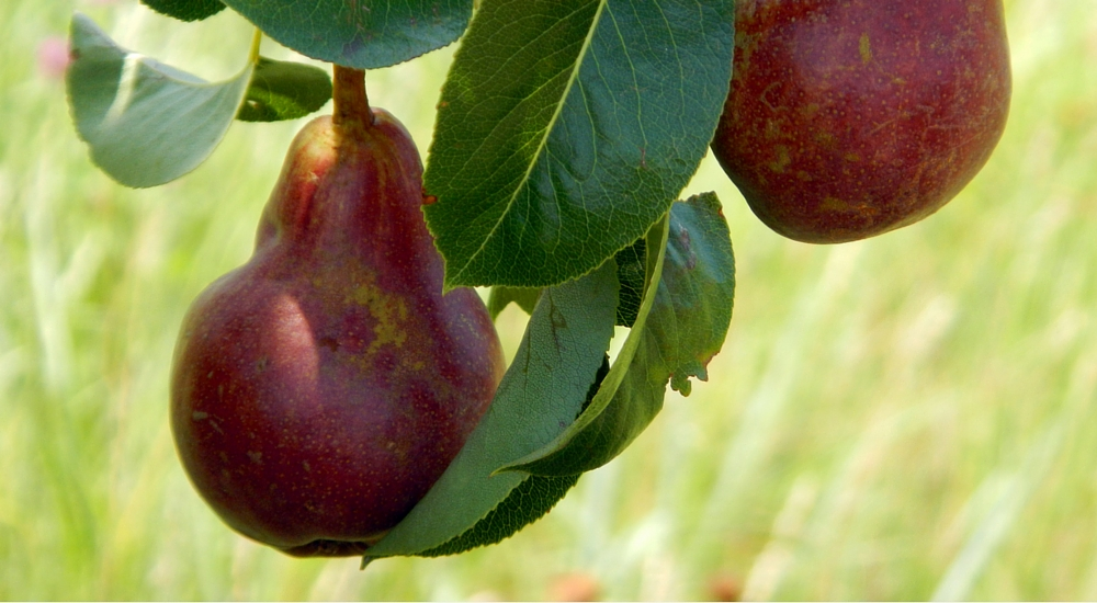 December is National Pear Month