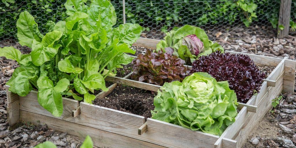 vegetable garden with lettuce