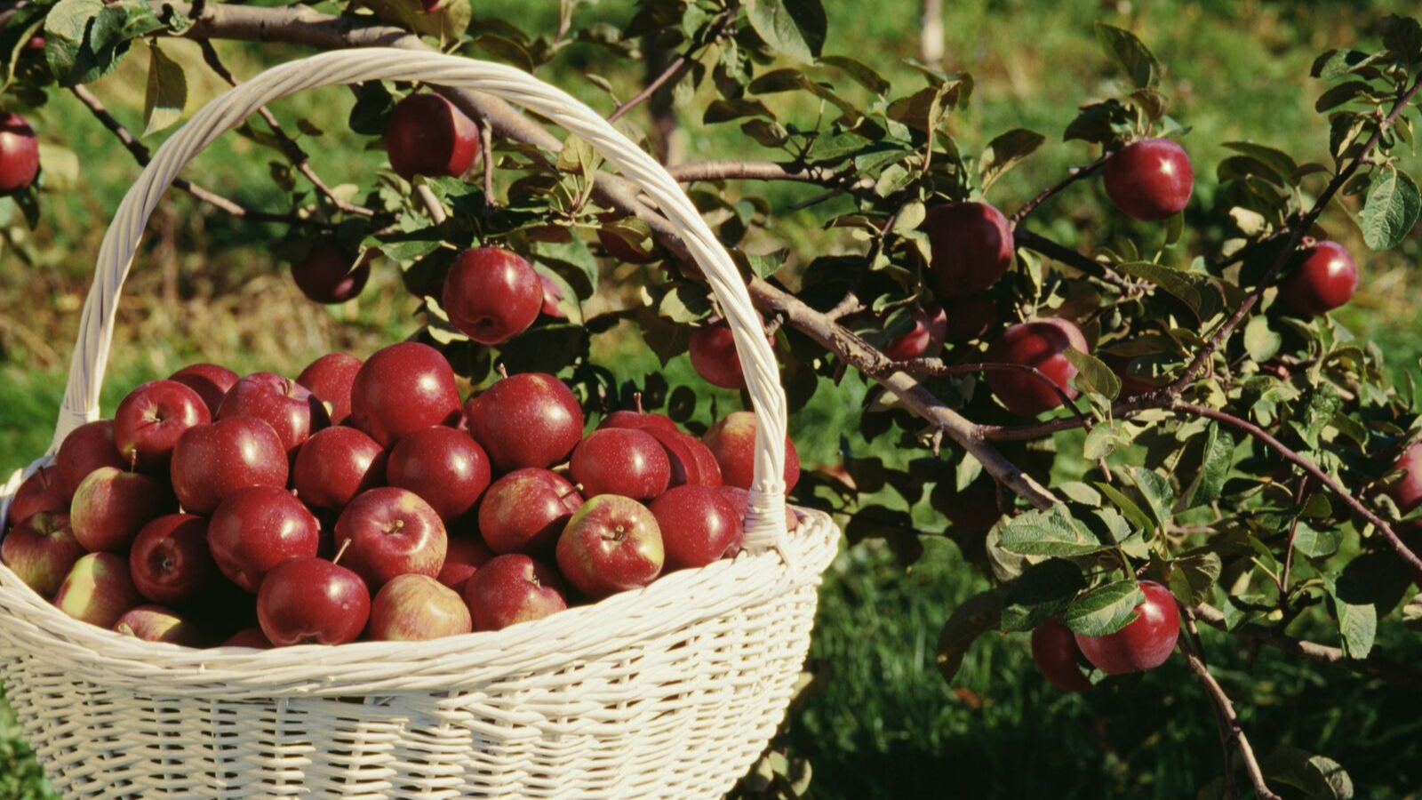 basket of apples that have been picked in an orchard